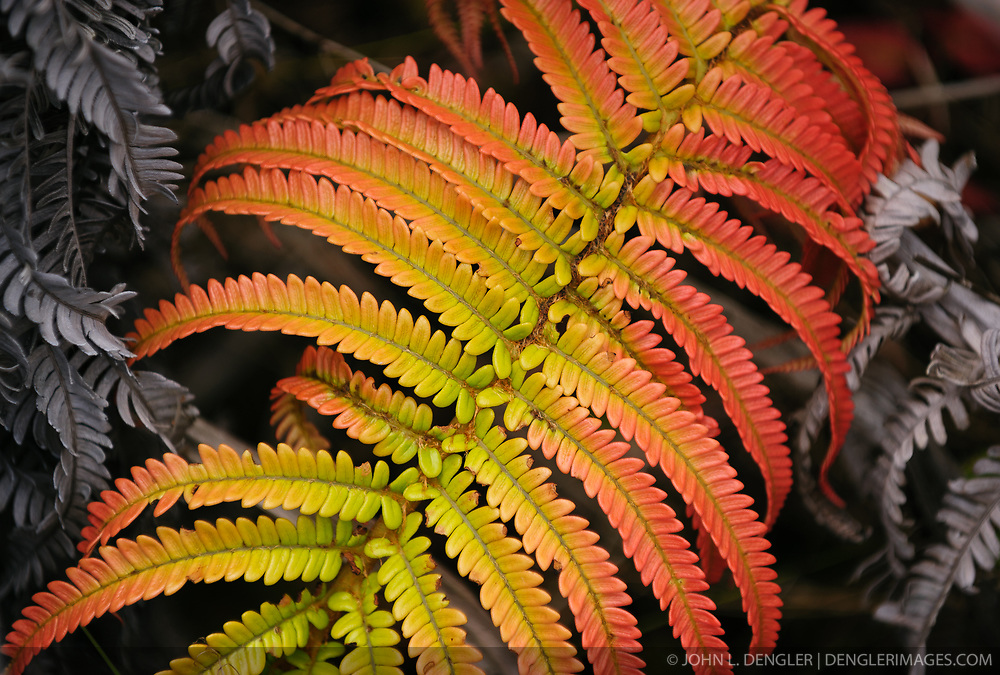 "The `ama`uma`u  or `ama`u for short, is a common fern found in the wet forests of Hawai`i Volcanoes National Park. The fern typically has red fronds when young for protection from the sun's ultraviolet rays. The fronds gradually turn green with age and gray when they die. The fern is a member of the Blechnum fern family and is endemic to Hawai`i. Halema`uma`u, the fire pit within Kilauea caldera, means ""the house of  `ama`uma`u fern.""  This fern was photographed on a connector trail between the Byron Ledge and Devastation trails near the Kilauea caldera."