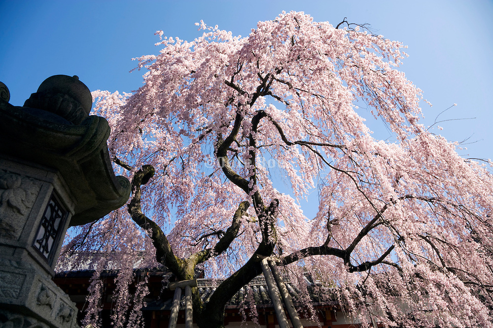 Cherry blossom in Nara Japan with old lantern in the foreground