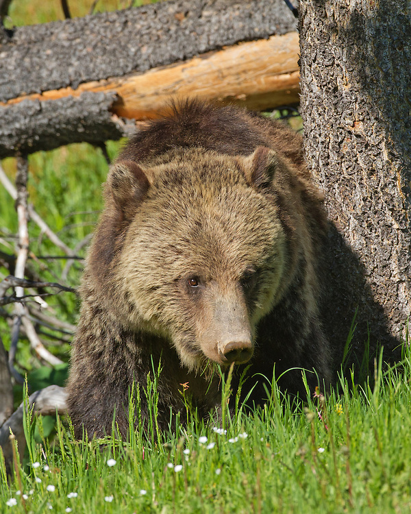 "During the summer months when grass shoots are young, sweet and nutritious, grizzlies spend much of their time grazing in Yellowstone's lush meadows. As summer progresses, bears move to higher elevations folowing the ""greening up"" of forage plants high in the mountains."
