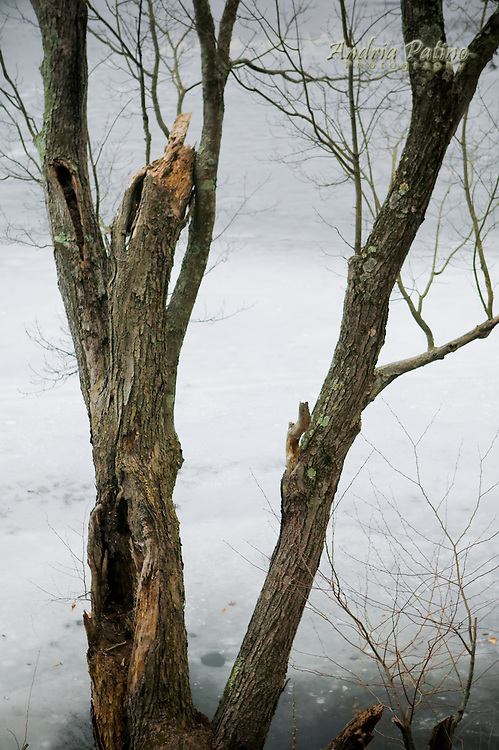 Barren tree by frozen lake