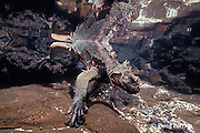 marine iguana, Amblyrhynchus cristatus, dying of starvation in tide pool during 1992 El Nino, Galapagos Islands, Ecuador, Eastern Pacific