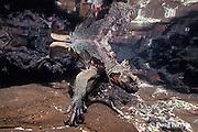 marine iguana, Amblyrhynchus cristatus, dying of starvation in tide pool during 1992 El Nino, Galapagos Islands, Ecuador, Eastern Pacific