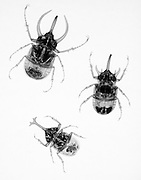 An X-ray of a three large beetles. The top insect is a Chalcosoma atlas Sulawesi (Atlas beetle) from Indonesia. The middle insect is an Eupatorus gracilicornis from Thailand..  The bottom insect is Allomyrina dichotomus tsunobosonus from Taiwan.