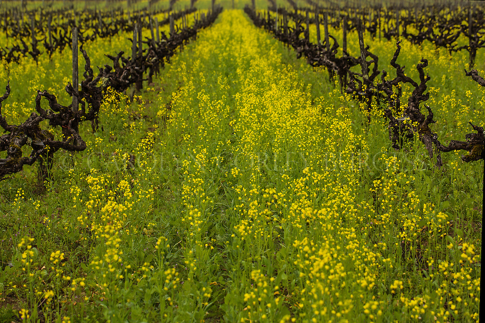 mustard flowers in and old growth Napa Valley vineyard.