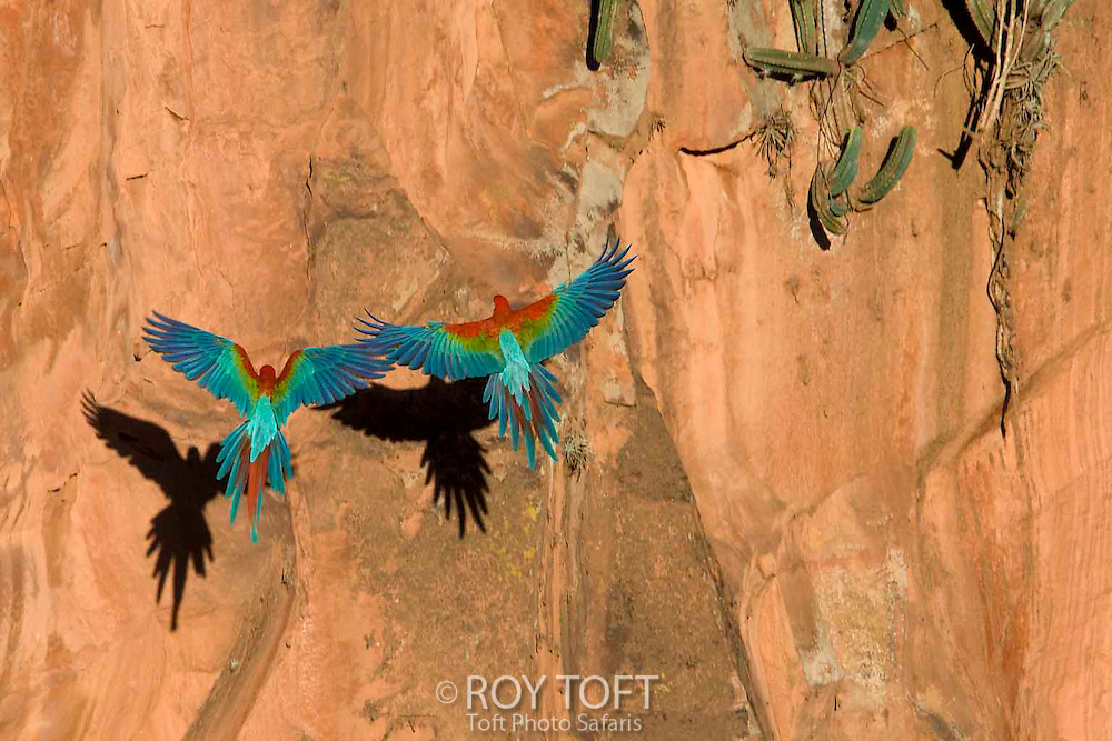 Two Greenwing Macaws in flight