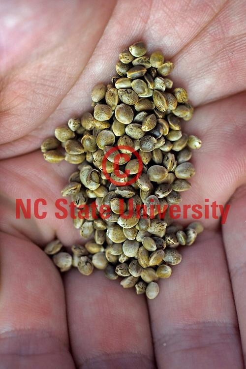 Hemp seeds in a farmer's hand.