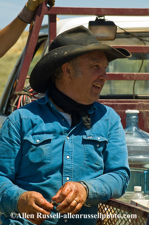 Branding, Rancher Bill Erickson takes a break from castrating calves, east of Miles City, Montana