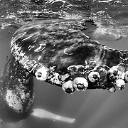 Close-up view of an adult female humpback whale's fluke at the ocean surface, with acorn barnacles (Coronula diadema) and whale lice (Cyamis boopis) visible.