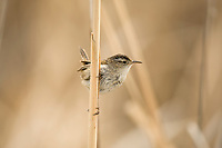 Early in April the Marsh Wrens make their way to the northern Utah marshes.
