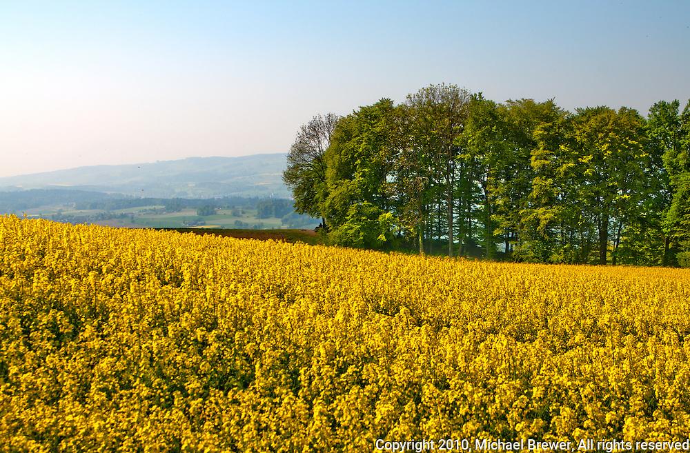 A field of yellow flowers in summer at Himmelreich, Zufikon, Aargau, Switzerland.
