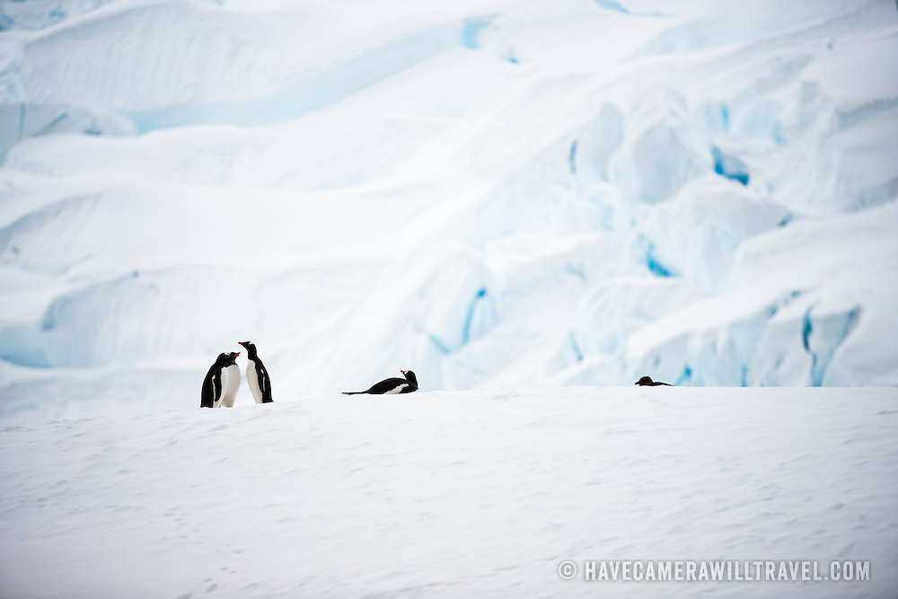 Five Gentoo penguins resting on the ice on the shore of Curtis Bay on the Antarctic Peninsula.