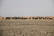15/12/2015-Chbaish,Iraq- A cattle of water buffallo's and its breeder in the hammer's marsh. The drought of the Iraqi marshes has halved the amount of water buffalo's, from three million to one and half.