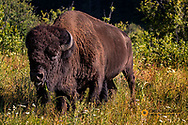 Bison bull at the National Bison Range in Moiese, Montana, USA