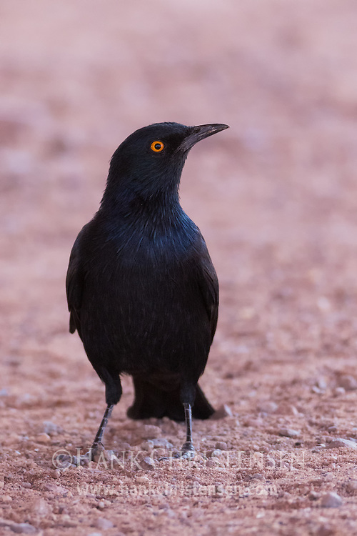 A pale-winged starling poses briefly on red rock, Twyfelfontein, Namibia.