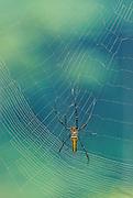 Giant golden Orb Weaver spinning web