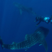 Two whale sharks (Rhincodon typus) and guide from the tour boat, Honda Bay, Palawan, the Philppines