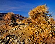 Devils Cornfield in Death Valley National Park in California