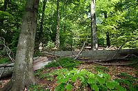Beech Forest, Fagus sylvatica, Morske Oko Reserve, Vihorlat Mountains, Western Carpathians, Eastern Slovakia, Europe
