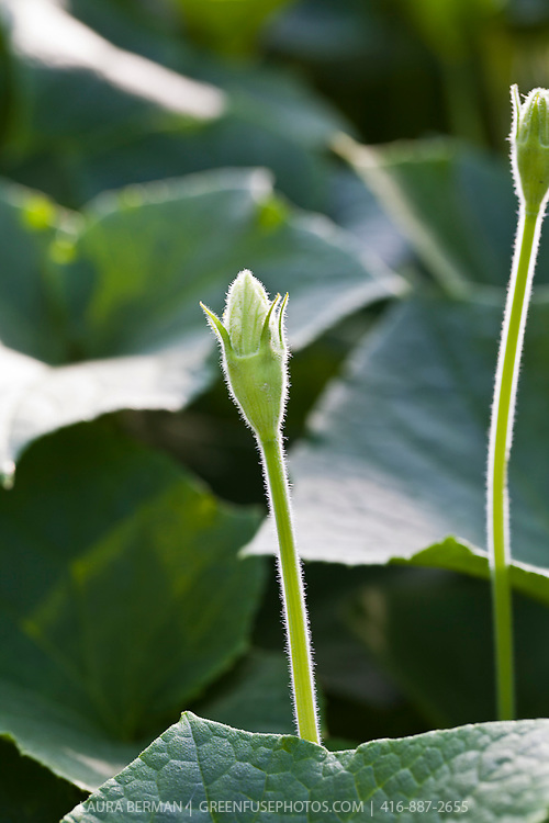 The white flower of Bottle gourd (Lagenaria siceraria).This member of the squash family is an annual vine  having white flowers and smooth, large, hard-shelled gourds. Grown most often in warmer climates, this squash grows from 6 to 36 inches long and 3 to 12 inches in diameter.