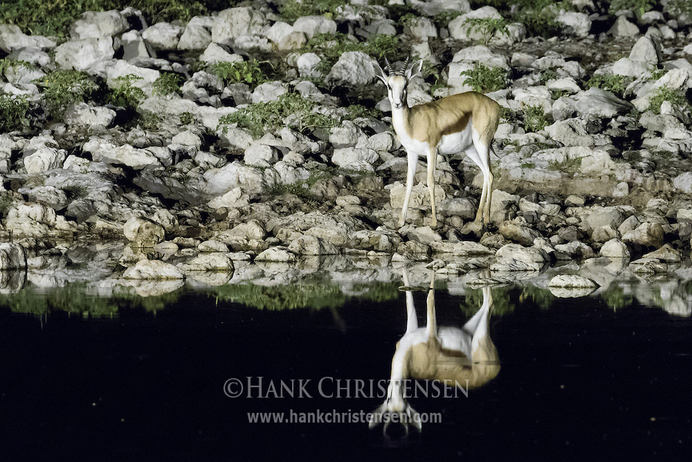 A springbok visits the Okaukuejo Waterhole at night, its form reflected in the still water, Etosha National Park, Namibia.