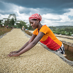 Mulu Betacha sorts coffee beans at a small farm in the village of Konga, Yirgacheffe, in Ethiopia. Ethiopia is the world's seventh largest producer of coffee, and Africa's top producer.