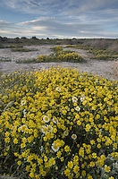 Fields of Coastal Tidytips (Layia platyglossa) and Yellow Goldfields (Lasthenia sp.) near Soda Lake in Carrizo Plains National Monument, California