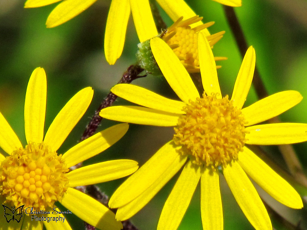 """Click the Buy button to purchase this image in the form of prints, products, or downloads. The central stem and small side stems terminate in rather tight clusters of compound flowers. A compound flower consists of 5-15 yellow ray florets, surrounding numerous golden yellow disk florets. Each compound flower is about ½"""" across, and a cluster of such flowers is about 1-5"""" across. The blooming period is from mid-spring to early summer, and lasts about 2 months. There is a conspicuous floral scent that resembles the fragrance of buttercups."""