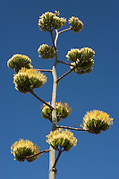 Havard Agave, (Agave havardiana ), Big Bend National Park, Texas