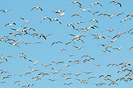 Middetown, New York - A large flock of snow geese on Feb. 20, 2017.