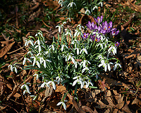 Snow Drops and Purple Crocus Flowers. Winter Backyard Nature in New Jersey. Image taken with a Fuji X-T2 camera and 16 mm f/1.4 lens (ISO 200, 16 mm, f/2.8, 1/2000 sec).