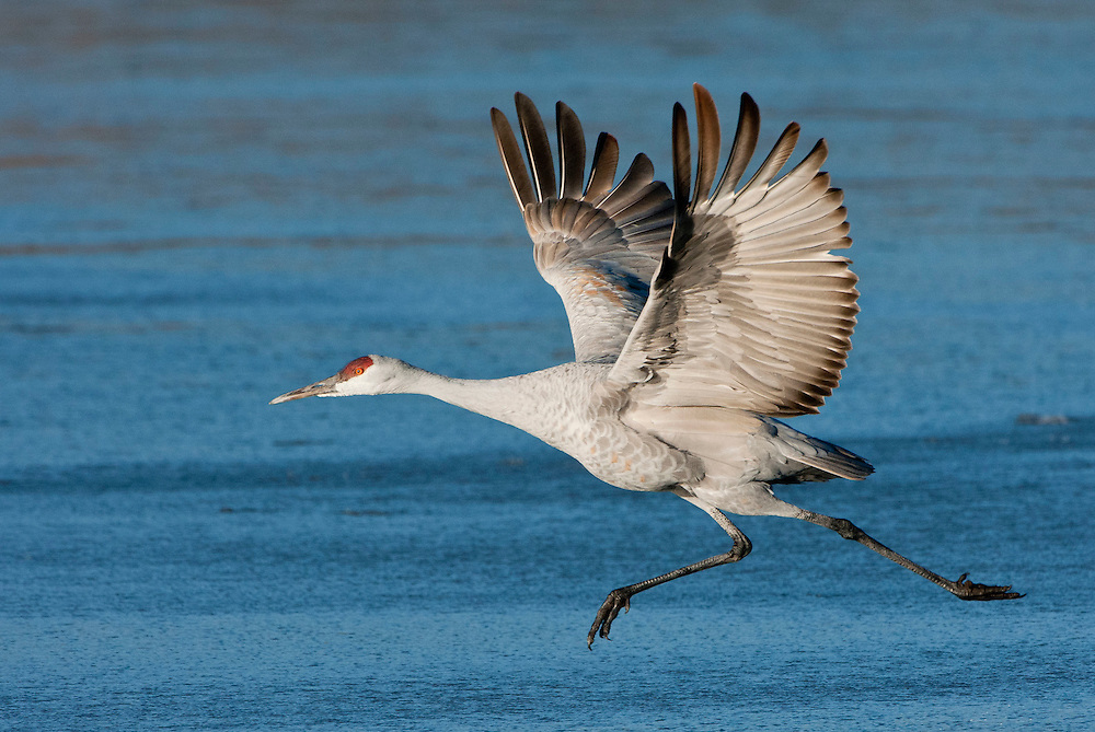 Sandhill Crane running take-off at Bosque del Apache NWR, New Mexico