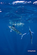 striped marlin, Kajikia audax (formerly Tetrapturus audax ), feeding on baitball of sardines or pilchards, Sardinops sagax, off Baja California, Mexico ( Eastern Pacific Ocean ) #4 in sequence of 5 images