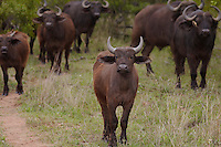 Herd of Water Buffalo in African plains