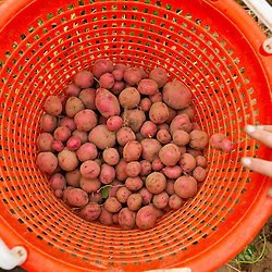 New red potatoes at Heron Pond Farm in South Hampton, New Hampshire.