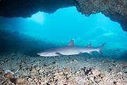 whitetip reef shark, Triaenodon obesus, swimming at entrance to cavern, Gato Island, off Malapascua, Cebu, Philippines  ( Visayan Sea, Western Pacific Ocean )