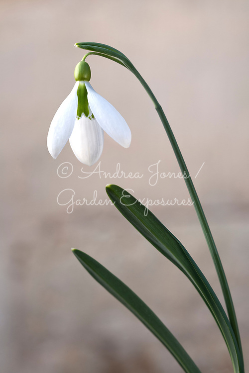Galanthus 'Tubby Merlin'