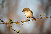 Marico flycatcher, Pilanesberg National Park, North West, South Africa