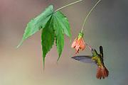 Rufous-tailed Hummingbird, Amazilia tzacatl, Nanegalito, Ecuador