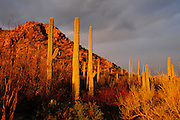 Saguaro cactus (Carnegiea gigantea) along Bajada Loop Drive in Saguaro National Park are wet after a winter rain in an El Nino year in the Sonoran Desert,Tucson, Arizona, USA.  The storm breaks at sunset.