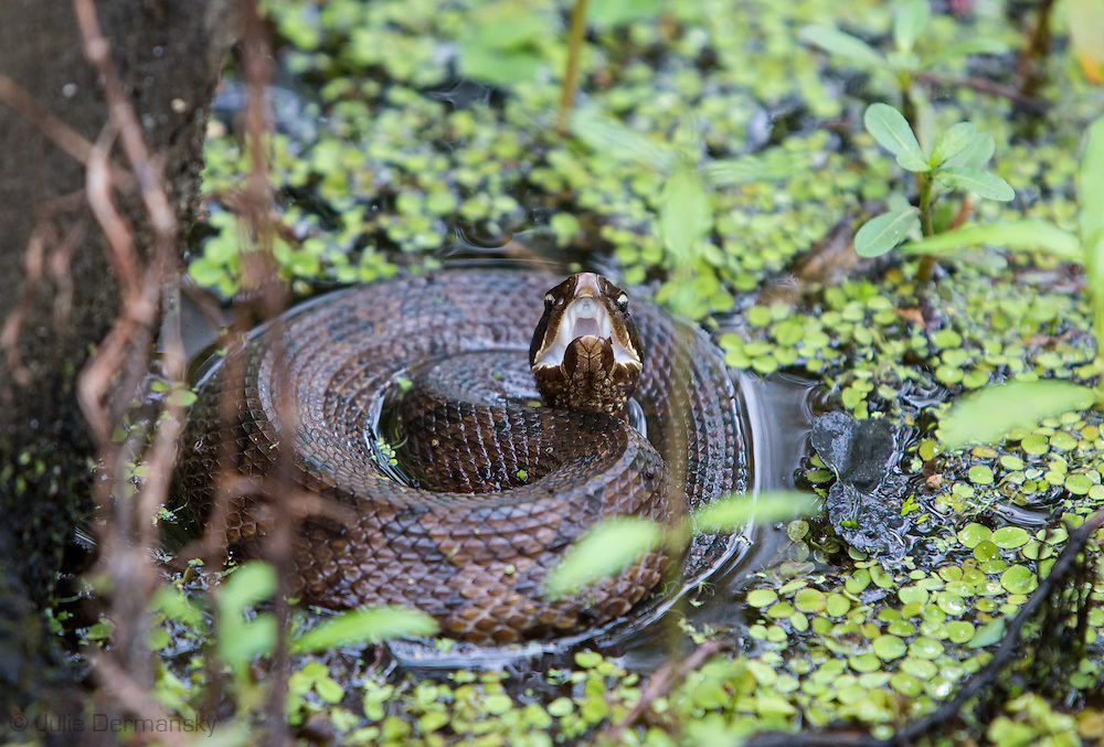 April 4, 2014, Lake Maurepas. Louisiana, a water moccasin ready to strike in the swamp. Water moccasins are native to Louisiana's wetlands.