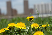 extreme close up of grass with dandelions and high rise buildings in the background