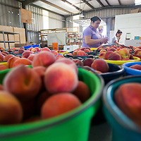 Griselda Nava, Judy Acevedo and Kim Foreman look over and sort freshly-picked peaches into 5, 10 and 25 pound boxes at Cherry Creek Orchard in Pontotoc.