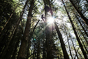 Climbing a tree to a Goshawk nest in a forestry block in the Scottish Borders.