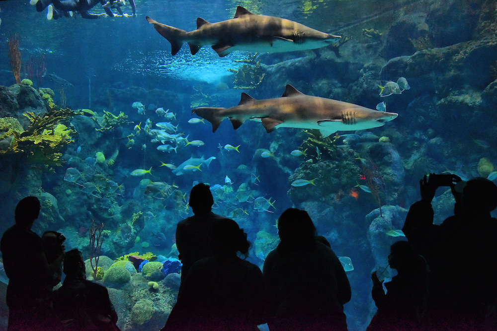 Sharks Swimming at Coral Reef Exhibit at Aquarium in Tampa, Florida <br /> The dramatic centerpiece of the Florida Aquarium is a half-million gallon tank called the Coral Reef Exhibit. In addition to these passing sharks, you&rsquo;ll see over 2,000 sea creatures swimming inside.  They represent 100 species &hellip; including homo sapiens!  That&rsquo;s right. You can sign up for either the &ldquo;Swim with the Fishes&rdquo; or &ldquo;Dive with the Sharks&rdquo; experiences.  I prefer the safety of watching these sharks from outside versus scuba diving among them like the people in the upper left corner of this photo.