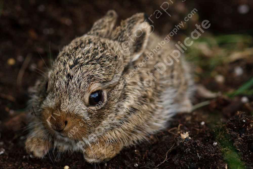I got home tonight and discovered excitement in my neighborhood about some baby rabbits in a flowerbed across the street from our house.  The kids on the street had discovered them and obviously were very excited.  Baby bunni..©2009, Sean Phillips.http://www.Sean-Phillips.com