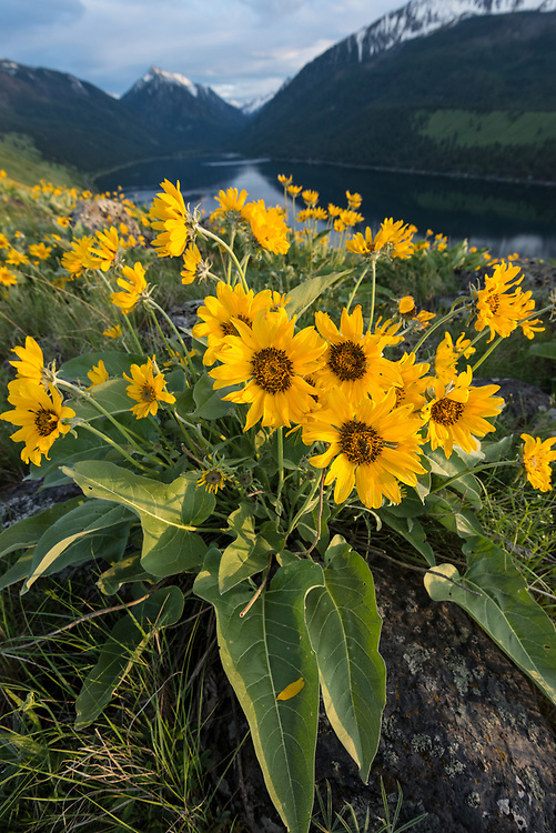 Arrowleaf balsamroot in bloom on a glacial moraine along Wallowa Lake, Oregon.
