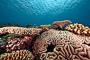 Brain coral and other colorful corals flourish in the clear blue waters around Yap Micronesia. (Photo by Matt Considine - Images of Asia Collection)