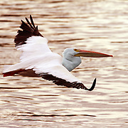 A pelican skims the water near the Red Rock dam looking for lunch.  Hundreds of pelicans made a fall stop at Lake Red Rock on their migratory trip south.  After devastating floods in 1947, money was appropriated by Congress to construct a flood-control dam across the Des Moines River.  Finally, after several delays, the U.S. Army of Engineers began construction in 1960 downstream from the old town of Red Rock in Marion County, and the gates to the dam were closed in 1969, beginning a new chapter in avian ecology as Lake Red Rock began to form.  photo by david peterson