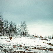Two subspecies of wolves are currently recognized in Alaska; wolves in Southeast Alaska tend to be darker and somewhat smaller than those in northern parts of the state. Wolves are social animals and usually live in packs that include parents and pups of the year. The average pack size is six or seven animals, and pack members often include some yearlings and other adults. Packs of 20 to 30 wolves sometimes occur, and these larger packs may have two or three litters of pups from more than one female.<br /> The social order in the pack is characterized by a separate dominance hierarchy among females and males. In most areas wolf packs tend to remain within a territory used almost exclusively by pack members, with only occasional overlap in the ranges of neighboring packs.<br /> This was my first close encounter with a pack of wolves in Southeast Alaska. They are generally hard to see because most of their range is densely forested but the landscape is much more open in Glacier Bay. I was paddling around this island in the middle of winter when I heard some wolves howling. Around the next bend I encountered a pair of cow moose out in the water protecting themselves from a frustrated pack of wolves howling on the shore. I just sat motionless in my kayak and eventually one of the wolves trotted down the frozen beach and stood right in front of me for a few seconds before returning to the rest of the pack. It was a thrilling experience to look a wolf in the eyes at such close quarters.