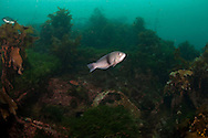 Notolabrus cinctus (Gridled wrasse) on the wreck of the Waikare 1910 at Stop Island, Dusky Sound, Fiordland. Friday 04 April 2014<br /> Photograph Richard Robinson &copy; 2014<br /> Dive Number: 514<br /> Site: The Wreck of the Waikare 1910, Stop Island, Dusky Sound, Fiordland.<br /> Boat: Tutoko<br /> Dive Ian Skipworth<br /> Time: 15:43<br /> Temperature:  14.8<br /> Rebreather: Inspiration Vision. Total Time On Unit: 315:49 hh:mm<br /> Maximum Depth: 18.3 meters<br /> Bottom Time: 122 minutes<br /> Mix: 21<br /> CNS: 40%<br /> OTU: 38%<br /> Bottom Time to Date: 34,682 minutes<br /> Cumulative Time: 34,804 minutes